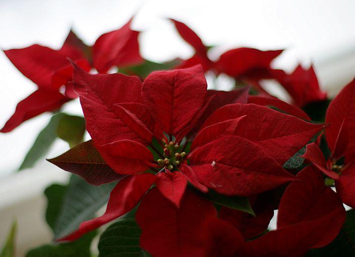 "Telpaugs ""Ziemassvētku zvaigzne"" jeb ""puansetija""."