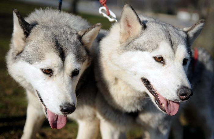 Haskiju suņi Ziemas sportisko aktivitāšu festivālā Uzvaras parkā.