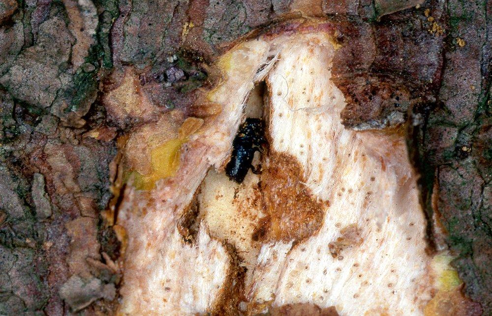 Egļu astoņzobu mizgrauzis