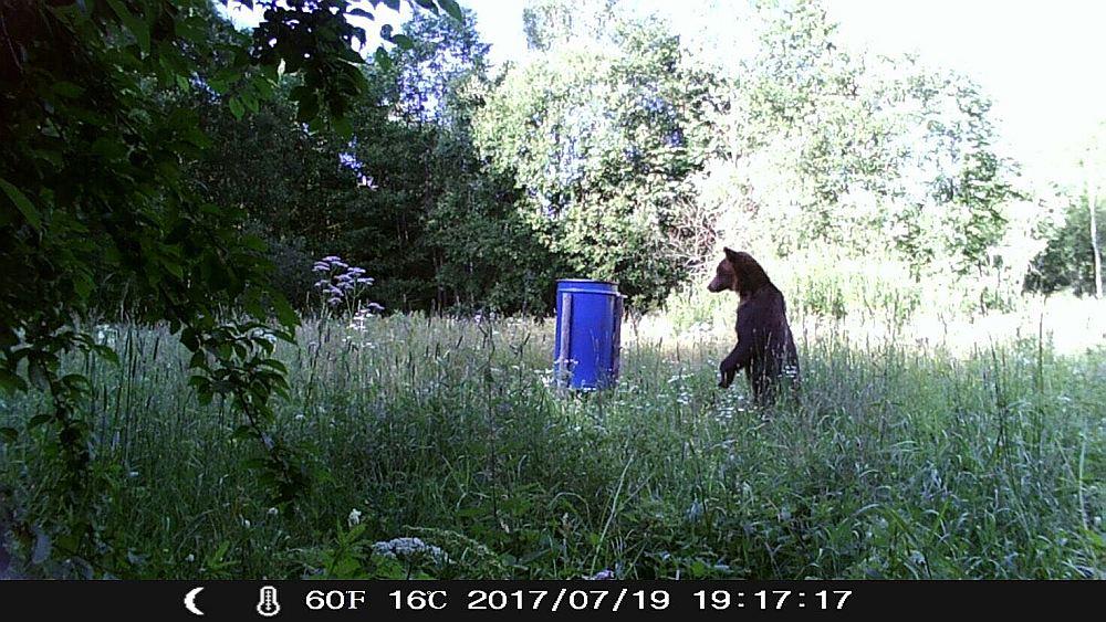 Limbažu apkaimē mednieku kluba platībās vairākkārt novēroti lāči.