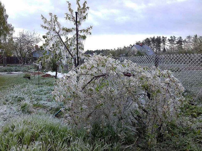 Ja gaidāma salna, augļu kokus un ogulājus vajag salaistīt.