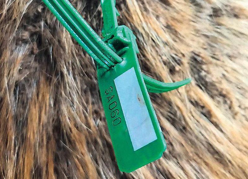Medību likums nosaka, ka tad, kad dzīvnieks ir nomedīts, to aizliegts pārvietot, iekams tam redzamā vietā nav piestiprināts marķieris. Attēlā redzamais marķieris izmantots nomedītam stirnāzim.