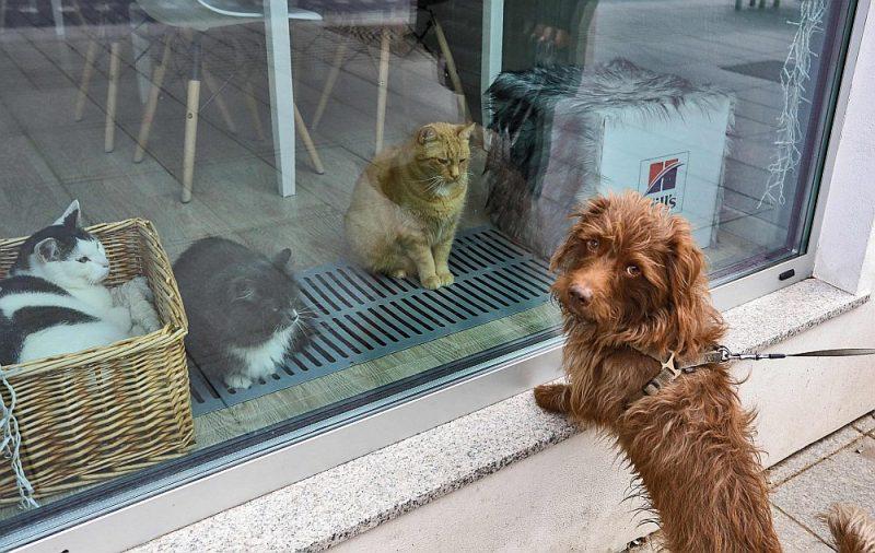 """Suns apstājies pie epidēmijas dēļ slēgtās """"Kaķu kafejnīcas"""" Lietuvas galvaspilsētā Viļņā."""
