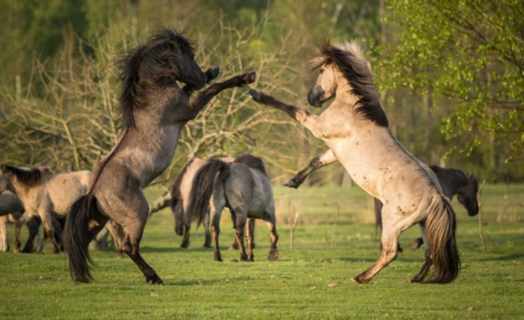 Savvaļas zirgi Papes Dabas parkā.