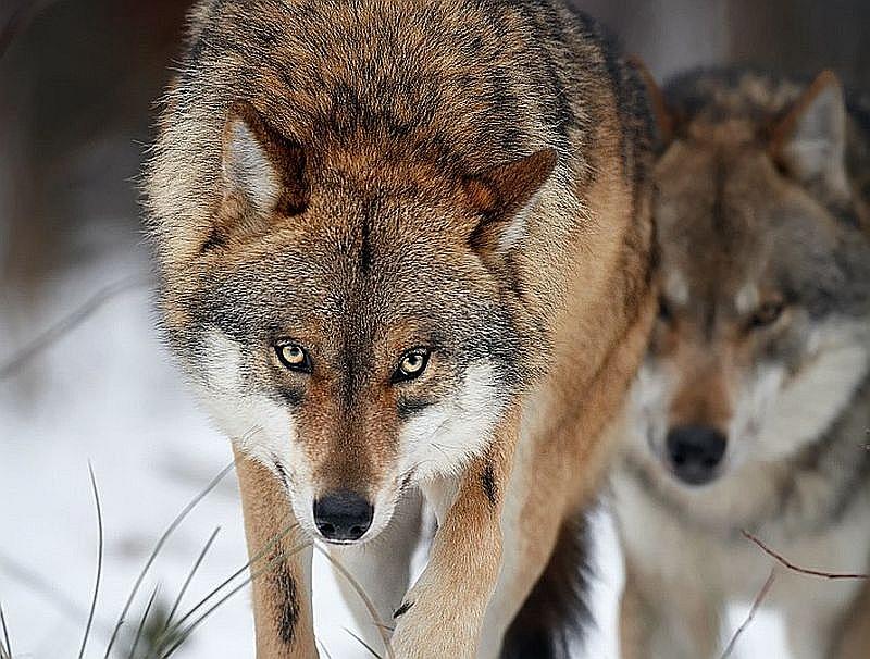 Vilku medību kvota 22. janvārī jau izpildīta, tāpēc tagad tos medīt aizliegts.
