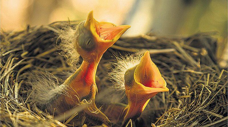 Ornitologi mēģina panākt, lai tiktu pārtraukta mežizstrāde putnu ligzdošanas laikā no 1. aprīļa līdz 30. jūnijam.
