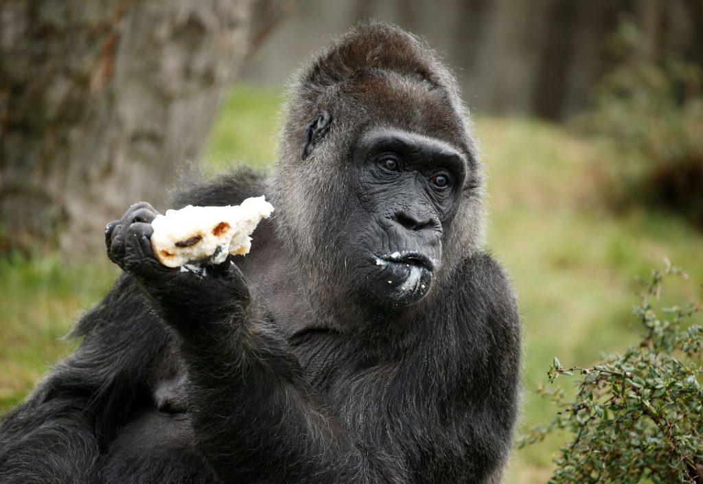 Gorilla Fatu.