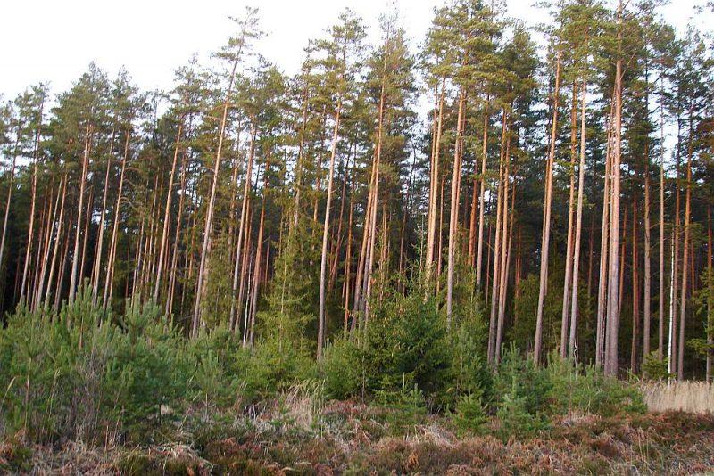 Piejūras septiņdesmit gadus vecās priedes. Tagad kopšanas cirtēs tiek iegūti mežmateriāli no, piemēram, mana tēva sētajām priedēm Vidzemes piejūras mežos.