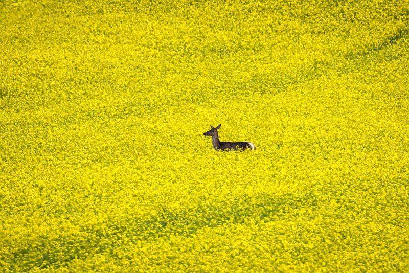 Rapši ir bīstami atgremotājdzīvniekiem, jo var izraisīt neiroloģisku reakciju – tas attiecas uz govīm, kazām, aitām, stirnām. Pavasarī izsalkušie dzīvnieki saēdas rapšus un tad sākas neiroloģiskas pazīmes, kas var novest pat pie dzīvnieku nāves.