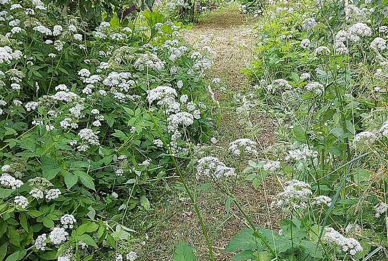 Gārsu ziedi, kā visi čemurzieži, ir izcils nektāraugs. To saldā smarža pievilina arī citus dārzam labvēlīgos kukaiņus.