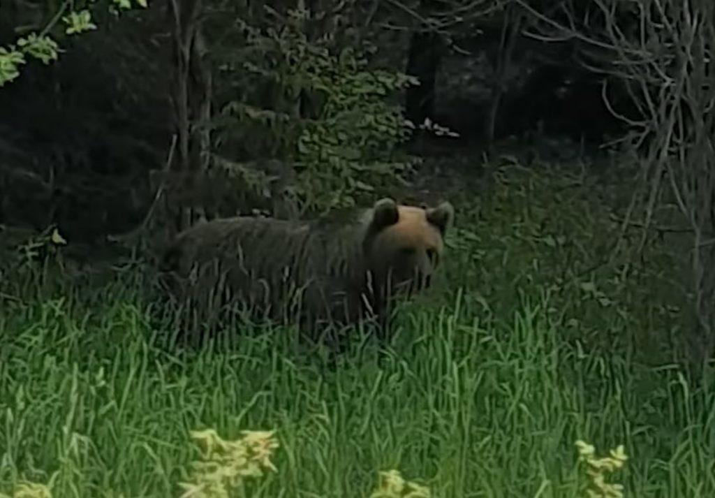 Matīss satikās ar šo lāci Ziemeļvidzemē, Naukšēnu pagastā.