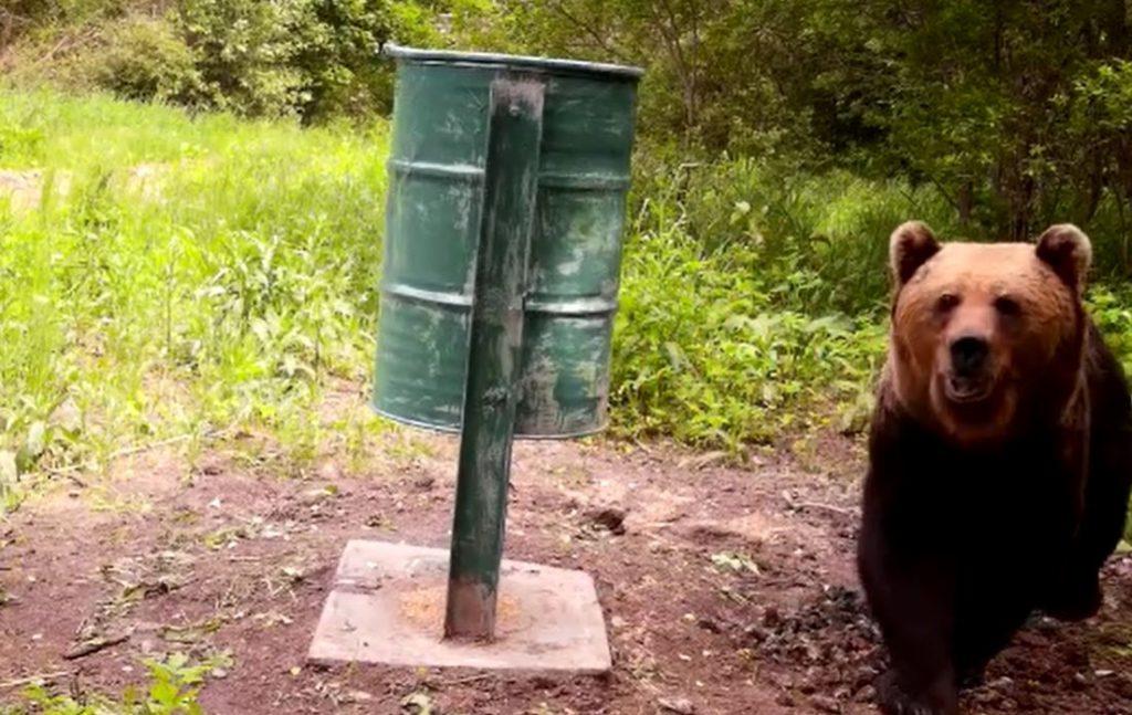 Šo izmēros iespaidīgo lāci meža kameras fiksējušas netālu no Limbažiem.