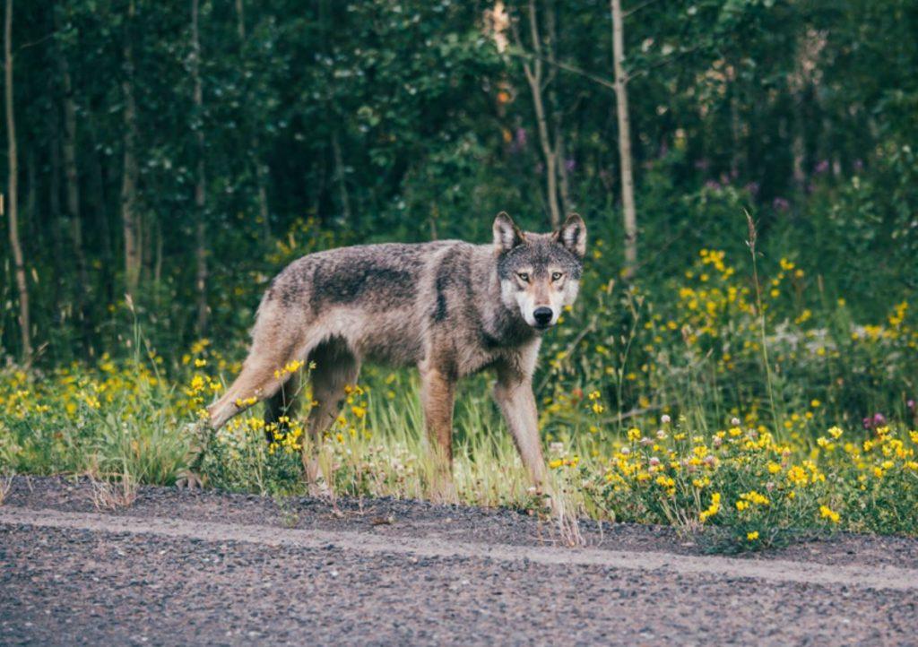 Pelēkais vilks (ilustratīvs foto).