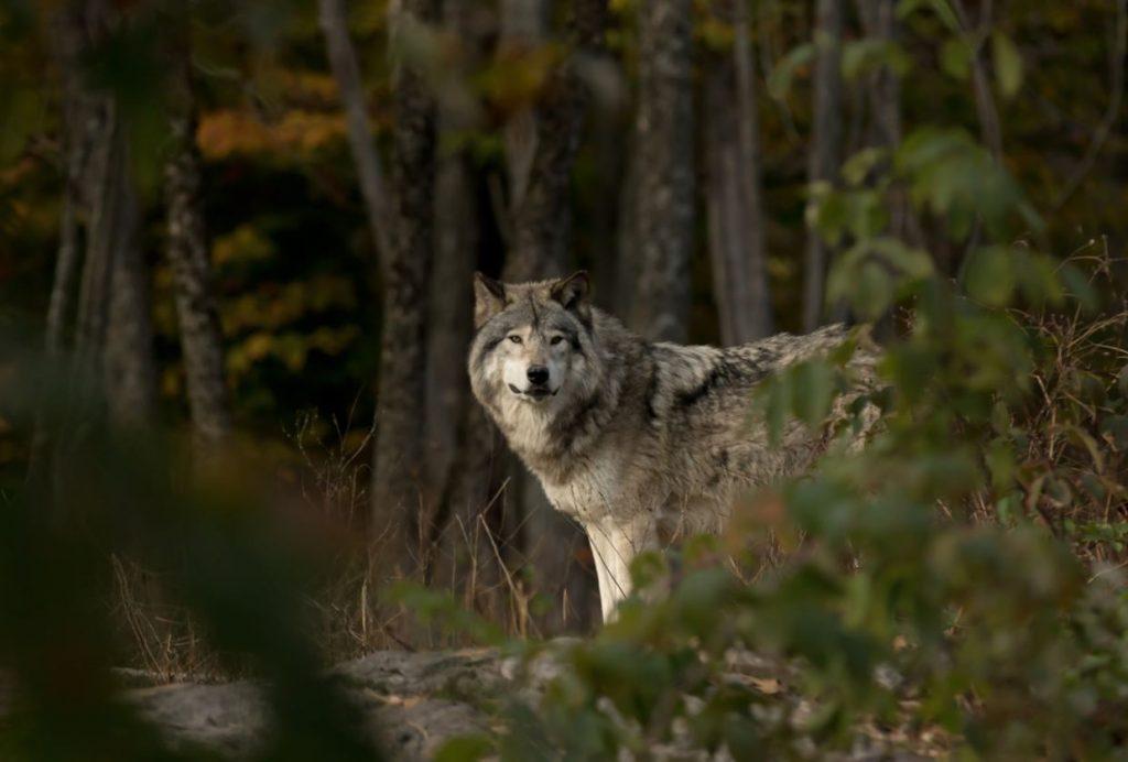 Pelēkais vilks (informatīvs foto).