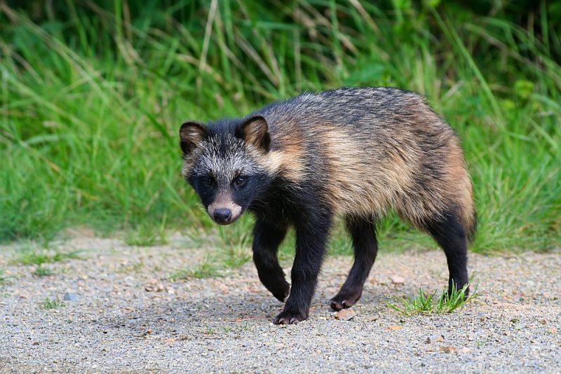 Jenotsuns Eiropas Savienībā ir atzīts par invazīvo sugu, ko Latvijā vēlas aizliegt aizsargājamās teritorijās medīt.