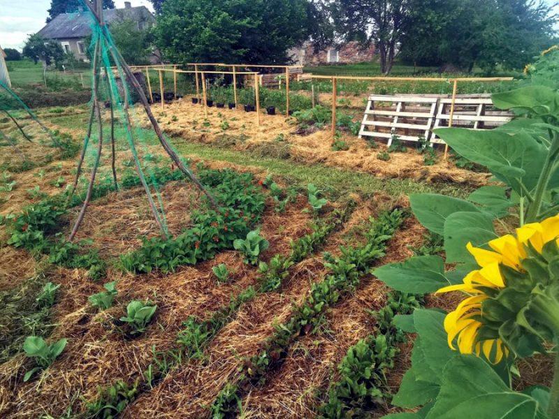 Salmu deķītis ir labvēlīgs gan lauka, gan siltumnīcas augiem.