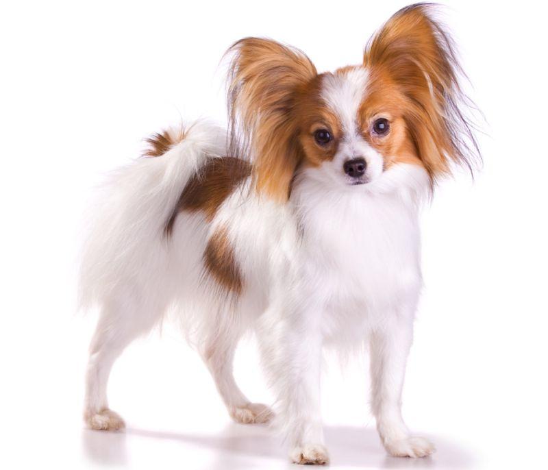 """Papilonus uzskata par senu suņu šķirni, kuras izcelsme meklējama jau renesanses laikos. """"Odziņa"""" ir suņu austiņas, kas atgādina taureni. Ne velti franči šķirnei devuši vārdu papillon, kas tulkojumā nozīmē taurenis."""
