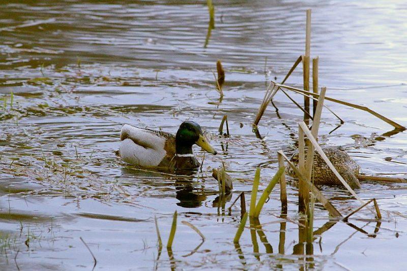 Ūdensputni ir nelimitētie medījamie dzīvnieki, līdz ar to nav noteikts nomedījamo putnu skaits.