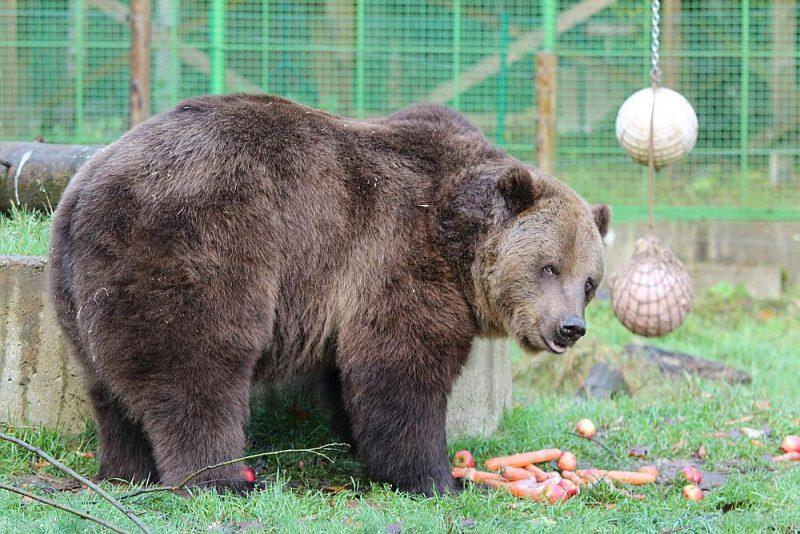 Kalvenes lāči ļoti gaida ievārījumus savai ikdienas putrai.